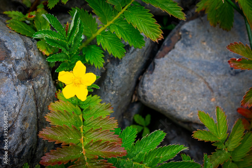 single yellow flower with green leaves and rocks on the Oregon coast