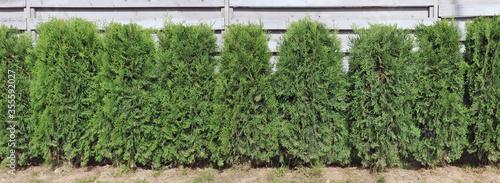 Fotografie, Obraz Green hedge  from  evergreen coniferous fir trees near gray  wooden fence panora