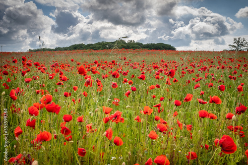 Fototapety, obrazy: many red poppies stand on a field