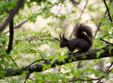 Squirrel on tree. Squirrel in the forest.