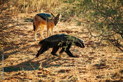 Cuadros en Lienzo black backed jackal and honey badger on the prowl