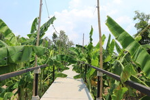 Walkways And Banana Trees In The Garden