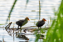 Cute And Fluffy Coot Chick In ...