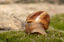 Macro Shot Of A Snail On A Gra...