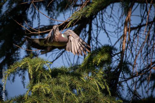Fényképezés Tortora in volo in primo piano tra i rami di pino in un giorno di sole