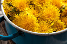 Fresh Dandelion Flowers In A Blue Vintage Pot