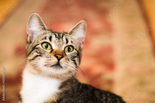 Adorable gray, black and white tabby kitten looking up and ready to explore her world. Pretty home interior background and perfect portrait of this curious and  adorable cat.