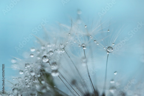 Fototapety, obrazy: seeds dandelion with water drops on a blue background