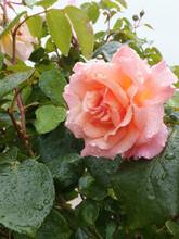 A Peach Coloured Rose After The Rain