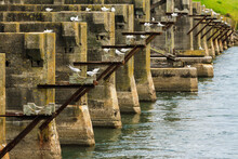 The Remains Of An Old, Half-demolished Bridge. White-fronted Terns Are Roosting On The Pilings