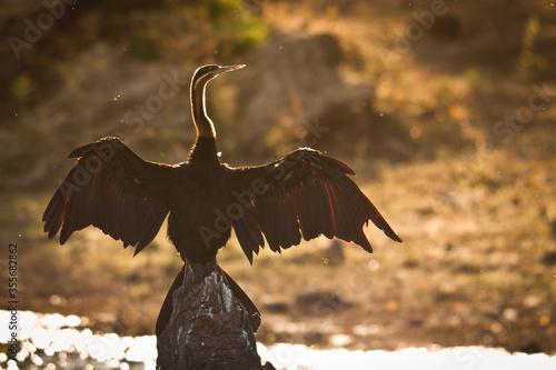 Fototapeta African darter on a stump