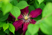 Dark Purple Single Clematis Fl...