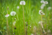 Two Dandelions In Focus On The...