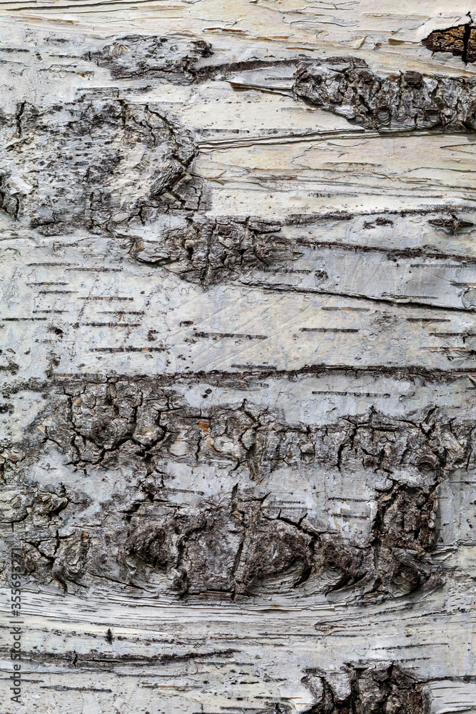 Birch Tree Bark Texture Close Up. Texture Useful For Background Image or To Use as Overlay.