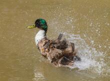 Mallard Duck Splashing Water, Bathing