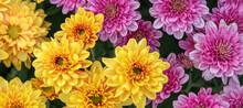 Beautiful Pink Yellow Chrysant...