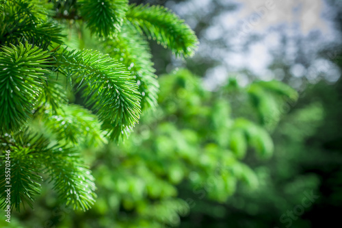 Photo close up of fir tree branches green background