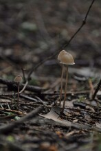 Two Small Brown Toadstool Mush...
