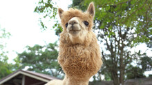 Alpaca Chewing Glass, Feeding ...