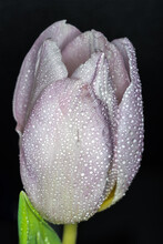 Lilac Lilaceous Lavender Lilac-colored Lilac-coloured Lilac Dutch Tulip Covered With Sparkling And Shining Water Droplets Macro Shot Against Black Grey Background