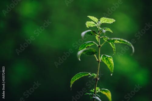 green blackberry leaves in autumn Fototapet