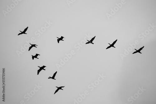 kormorany w czerni Canvas Print