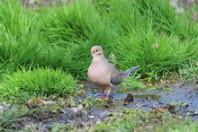Mourning Dove In Muddy Grass