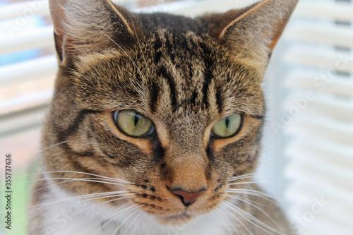 Domestic Tabby household cat