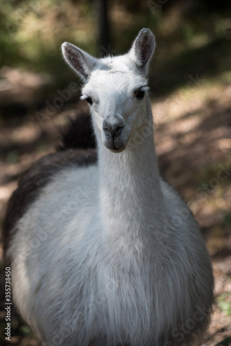 Photo llama domestic animal from the highlands