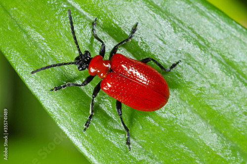The scarlet lily beetle, red lily beetle, or lily leaf beetle (Lilioceris lilii), is insect eats the leaves, stem, buds, and flower, of lilies, fritillaries and other of the family Liliaceae Wallpaper Mural