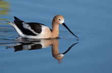 American Avocet And Reflection...