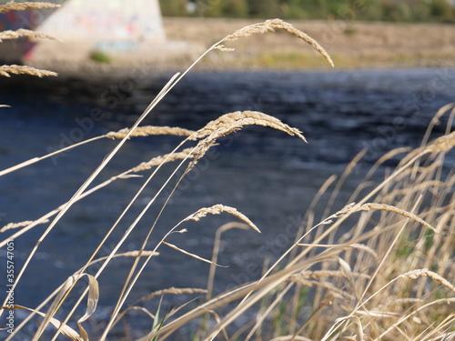 Fotografie, Obraz Fluss mit Gradhalmen
