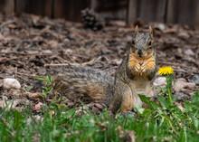 A Fox Squirrel In A Suburban Back Yard