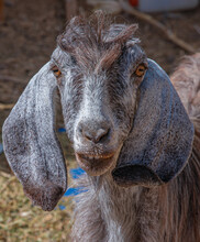 Close-up . Goats Face .