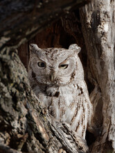 An Eastern Screech-owl Shades On Eye In Wyoming's Morning Light.