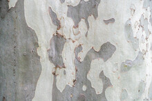 Sycamore, Platan Or Plane Tree Bark Texture Background In Khaki Colors, Khaki Military Pattern Imitation.