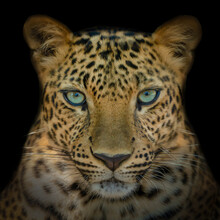 Blue Hypnotic Eyes Leopard Looking Straight Back Isolated On Back Background