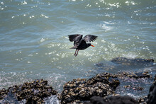 Variable Oyster Catcher Looking For Food