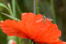 Tiny Hover Fly Or Flower Fly L...