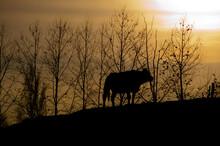 Vaca A Contraluz En Una Monte Del Pais Vasco