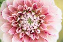 Dreamy Pink Dahlia Flower Macro