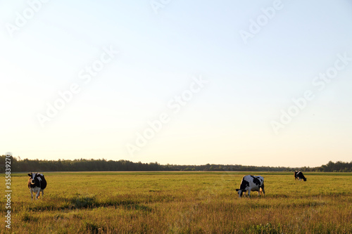 Photo Silhouettes of walking cows on a summer field background