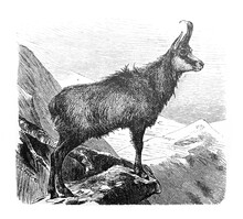 Alpine Goat Chamois (Capella R...