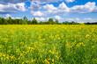 Leinwandbild Motiv Yellow rapeseed agricultural field in summer with blue sky