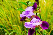 Purple And Pink Irises Blossom...