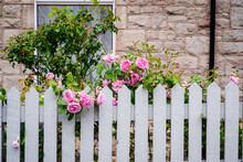 Pink Roses Growing Over White Picket Fence In UK
