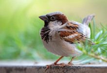 House Sparrow  Male Closeup With Blur Green Background