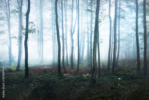Tall tree silhouettes in a thick morning fog. The light flowing through the trunks. Dark mystical forest scene. Creepy landscape. Fantasy, fairy tale, silence