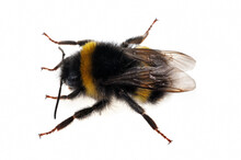 Bumblebee Close Up On White Ba...