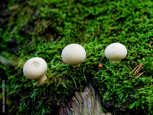 Beautiful Lycoperdon perlatum puffball mushrooms (Agaricaceae family) on the mosses on the old tree trunk Wallpaper Mural